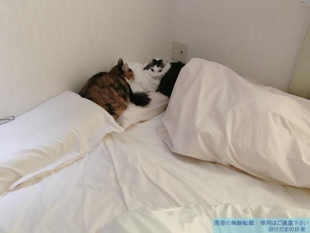 猫と一緒に寝る人。…というか枕を占領されている。