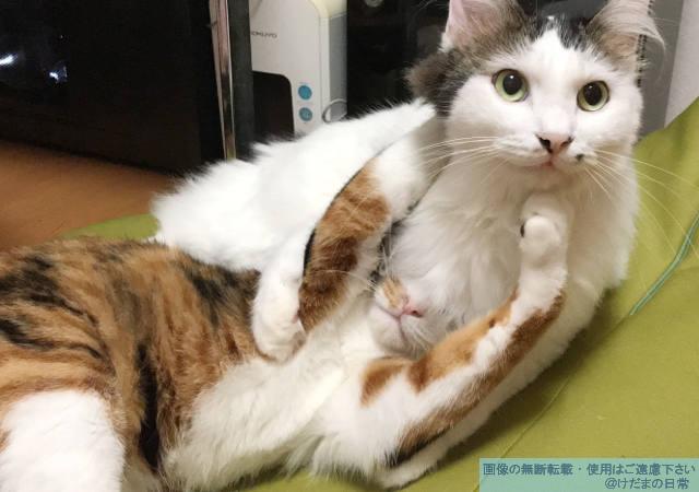 猫の多頭飼いは相性次第だとつくづく思う