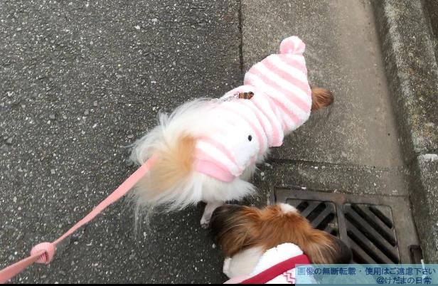 今年一番の寒さ。おばあちゃん犬に服着せたら超可愛い♪
